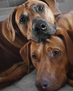 Cute Dogs And Puppies, Baby Dogs, Pet Dogs, Animals Beautiful, Cute Animals, Rhodesian Ridgeback Puppies, Dog Anatomy, Psy, Lion Dog