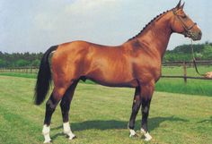 Selle Francais horse - French sporthorse