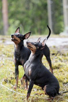 Monet kennelin omistajat ja koirankasvattajat ovat huomanneet, ettei sekaruokinta sovi koirille. Monet, Boston Terrier, Dogs, Animals, Animales, Animaux, Boston Terriers, Doggies, Animal