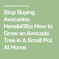 Stop Buying Avocados. Here's How to Grow an Avocado Tree in A Small Pot At Home