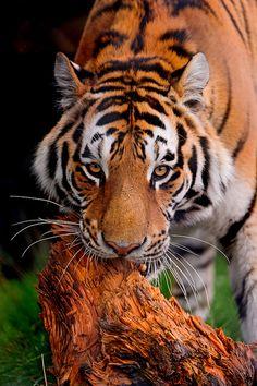 bigcatkingdom:  Tiger biting the wood by Tambako the Jaguar on Flickr.