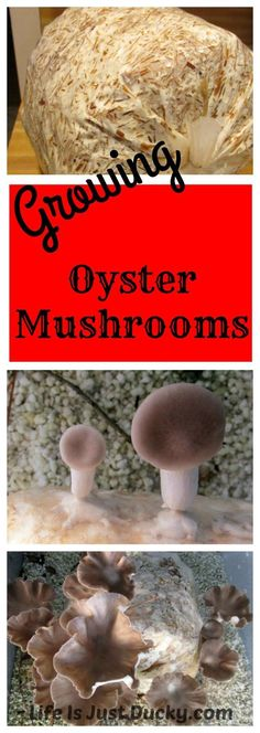 How To Grow Oyster Mushrooms - Wouldn't it be great to grow your own gourmet mushrooms in your own home or backyard. You can! This shows you how! #howtogrowmushrooms #mushroomgrowing