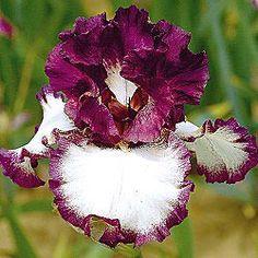 Rock Star Fantastic Reblooming Iris