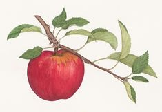 apple drawing - Google Search