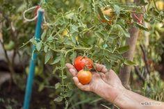 Comment faire pousser un plant de tomate