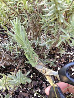 Sunshine Lavender Farm: Want MORE Lavender Plants? Root Some!