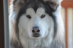 How To Train Alaskan Malamute Dogsled