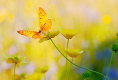 Sunshine by natans, via Flickr ... butterfly and buttercups :)
