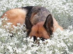 German shepherd dog - peek a boo, I see you. Seyko in Snow in Summer Uploaded by user