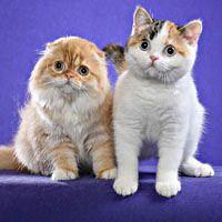 Scottish Fold Cats ;)
