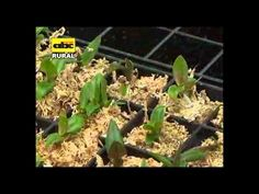 Cultivo de orquideas in vitro