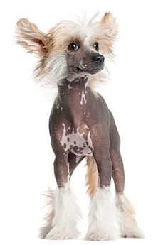 Chinese Crested Hairless (© Life on white/Alamy)