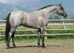 Snips Silver Legacy, 1998 blue roan Quarter Horse stallion standing at Lynn's Quarter Horses, Corvallis, MT Horses And Dogs, Wild Horses, Black Horses, Gray Horse, Most Beautiful Animals, Beautiful Horses, Beautiful Horse Pictures, Akhal Teke, American Quarter Horse