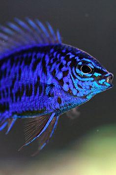 Blue Sapphire Damsel fish (Chrysiptera springeri)