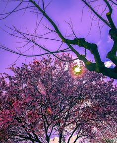 Cherry Tree, Cherry Blossom, Celestial, Sunset, Spring, Outdoor, Outdoors, Cherry Blossom Tree, Sunsets