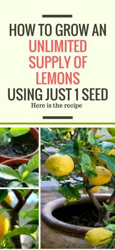HOW TO GROW AN UNLIMITED SUPPLY OF LEMONS USING JUST 1 SEED #hacks #recipe #beauty #healthy #remedies