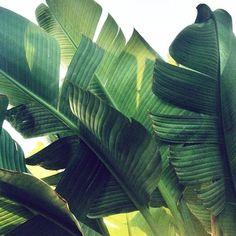 Illuminated banana tree leaves.