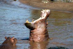 Tanzania, hipopótamos. Foto de Josep Prats Fiol