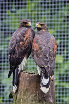 The Harris's Hawk or Harris Hawk (Parabuteo unicinctus) formerly known as the Bay-winged Hawk or Dusky Hawk, is a medium-large bird of prey which breeds from the southwestern United States south to Chile and central Argentina.
