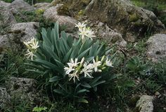 Pancratium illyricum - Παγκράτιο, Κρίνος της θάλασσας, Κρίνος του φαλήρου