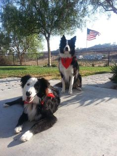 Pride and Gibbs.  A border collie duo from the USA! :D
