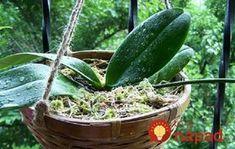Keď si priniesla domov orchideu z kvetinárstva, netušila, že sa z nej môže vykľuť takáto nádhera. Tvrdí, že toto sú dve najzákladnejšie veci, ktoré musíte urobiť!