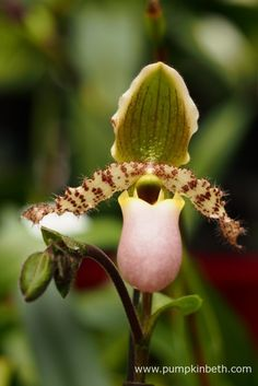 Paphiopedilum 'Pinochio' from Kopf-Orchideen at The RHS London Orchid Show.