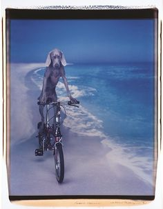 "William Wegman ""Beach Cruiser"" 1991. Polaroid polacolor II photograph. The significance of Wegman's work lies in the staging of his photographs.  The artist dresses his dogs, photographs them with props, and then places them in human-like poses."