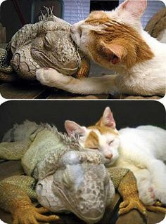 The Cat and the Iguana <3 Read here about them: http://awesomeanimals01.blogspot.co.il/2013/05/the-cat-and-iguana.html#.UgTG8X_7Bic