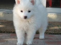 My future puppy! A Mini American Eskimo!