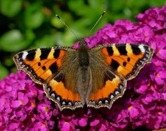 The Small Tortoiseshell or (Aglais urticae) is a well-known colourful butterfly, found in temperate Europe. Description from best-butterfly.blogspot.in. I searched for this on bing.com/images