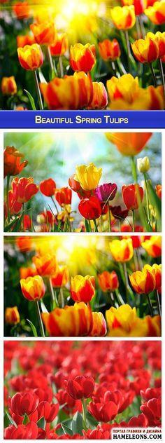 В растре тюльпаны - красивые весенние цветы   Beautiful Spring Tulips