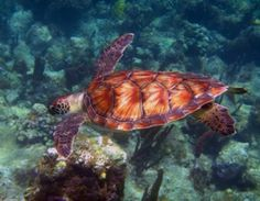 """Green Sea Turtles Highlighted As Conservation Success Story by Endangered Species Coalition""    http://conserveturtles.org/turtleblog/blog/2013/12/16/green-sea-turtles-highlighted-as-conservation-success-story-by-endangered-species-coalition/  #seaturtles #conservation #preservation #oceancare #conservancy #marinelife #ocean"