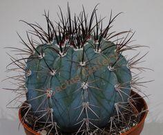 Melocactus azureus Cactus Gallery