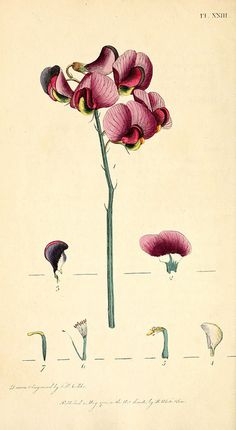 Botanical illustration of everlasting pea by J White, circa 1799 from Biodiversity Heritage Library