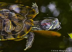 Pond Turtle - red ear slider. I know a lady in Sacramento, CA who rescues turtles when people don't want them as pets anymore or have been attacked by dogs, etc...
