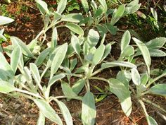 How To Grow Your Own Antibacterial Bandages      Young Wooly Lamb's Ear settling down for the winter.