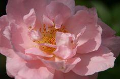 Suddenly Summer Rose Photograph Taken: 06/26/2014 Minnesota Landscape Arboretum Shrub Rose Walk