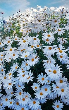 "I would like a garden of the daisy known as ""Darling Shasta Daisies"" Smaller than other Shastas and they bloom all summer long! Happy Flowers, Flowers Nature, White Flowers, Beautiful Flowers, Arrangements Ikebana, Shasta Daisies, Sunflowers And Daisies, Field Of Daisies, Daisy Field"