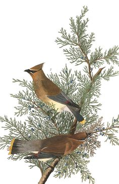 Cedar Bird | John James Audubon's Birds of America