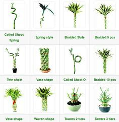 How Herb Back Garden Kits Can Get Your New Passion Started Off Instantly Lucky Bamboo Ewaterplant : Resource Of Aquatic Plant And Ornamental Plants Bamboo House Plant, Indoor Bamboo Plant, Bamboo Plant Care, Big Indoor Plants, Lucky Bamboo Plants, House Plants, Bamboo Planter, Bamboo Garden, Lucky Bamboo Care