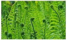 Unique Plants, All Plants, House Plants, Ferns For Sale, Wood Fern, Online Plant Nursery, Red Anemone, Ferns Garden, Fern Frond
