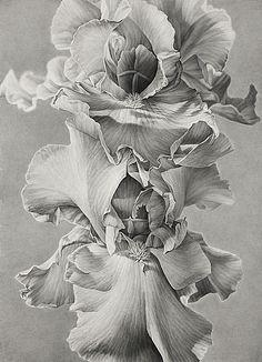 Joseph Stashkevetch(American, b.1958) Iris  2010 conte crayon on paper