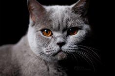 Najlepsze Obrazy Na Tablicy Bri 67 British Shorthair Dog Cat I