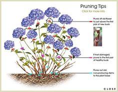 Hydrangea Pruning Tips Z