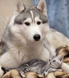 Foto : O husky é um companheiro perfeito para as crianças