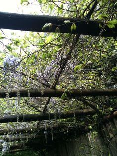 Voor de tuin klimop met blauwe regen