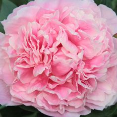 An award-winning heirloom introduced in 1902, Peony 'Lady Alexander Duff' is extravagantly beautiful.