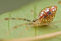 Thwaitesia Argentiopunctata