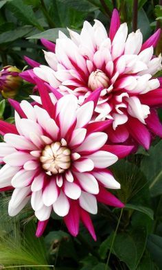 Dahlia Got me up this morning/got me up on time/had my faith and hope/my strength and my right mind! All Flowers, Flowers Nature, Exotic Flowers, Amazing Flowers, Colorful Flowers, Beautiful Flowers, Dahlia Flowers, Beautiful Artwork, Nice Flower